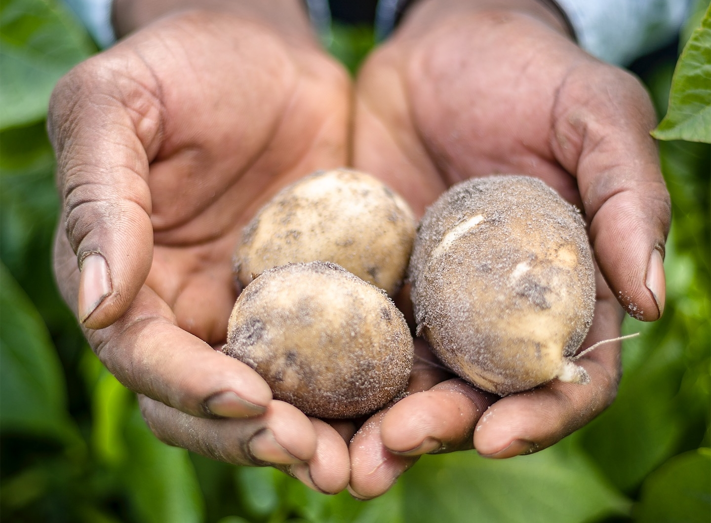 Farmer's Hands with Potatoes